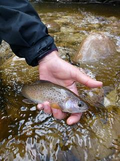 most grayling will hit it straight up with no muss or fuss.