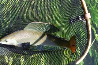 Arctic Grayling in the net