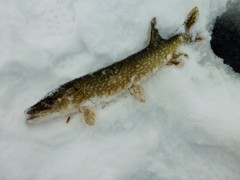 First fish: a pike.  Proof positive that we had found the lake, and there were fish in it