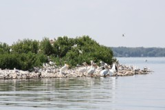 Pelican and waterbirds on Lac Ste. Anne's Alberta Rock Island