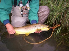 Brown trout think about spawning in the shorter days of fall