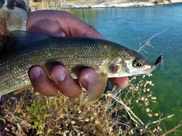 The Rocky Mountain Whitefish Rig