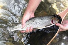 Classic South Ram River cutthroat in Alberta