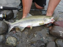 Pink Salmon run on the Squamish river
