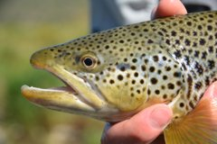 20 + Brown trout are a regular occurrence on the Bow