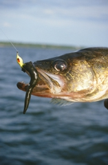 When jigging with live bait, be less aggressive than when jigging with artificials.