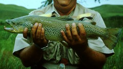 Big trout know that Hoppers are a big meal and will lose some of their wariness at Hopper time.
