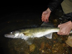 The big walleye like to come out at dark.