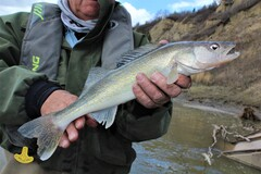 River walleye are an under-utilized Alberta angling resource.
