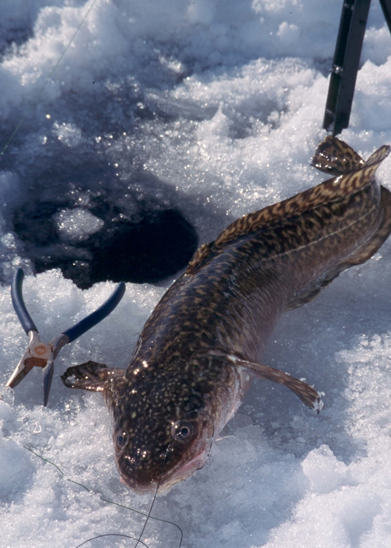 Fish migrations following the spawn fishing article by for Ice fishing near me