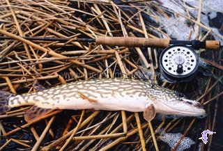 An 8-weight rod with attifude is preferred for muscling spring pike.