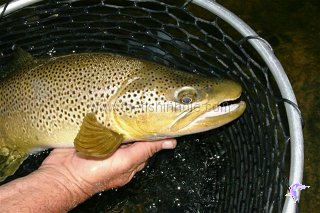 A Red Deer River super-sized brown trout.