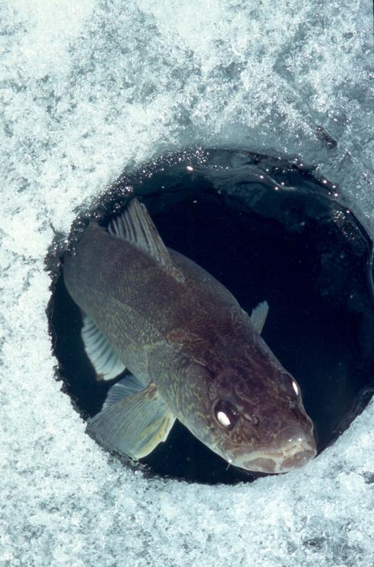 Good fishing at last ice fishing article the fishin 39 hole for Ice fishing hole