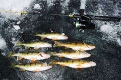 Yellow perch are a fine twilight zone ice-angling quarry.