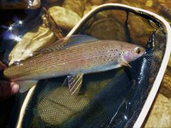 A beauty grayling caught deep in boreal country.